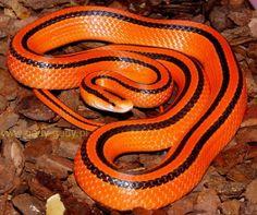 Thai Red Mountain Rat Snake