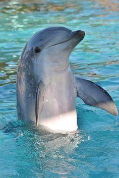 flag of Ocean Simply breathtaking - sea life Dolphin Photos, Dolphin Art, Beautiful Sea Creatures, Animals Beautiful, Photo Dauphin, Cute Baby Animals, Animals And Pets, Baby Dolphins, Bottlenose Dolphin