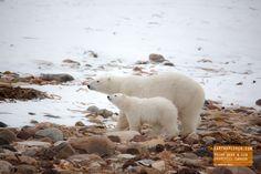 Polar Bear and Cub - Churchill Canada
