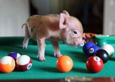 """""""I Have No Idea What I'm Doing""""   The 20 Pictures Of Miniature Pigs You Need To See Before You Die"""