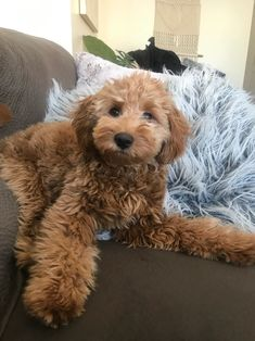 Goldendoodle Grooming, Mini Goldendoodle Puppies, Puppy Grooming, Goldendoodles, Labradoodles, Maltipoo, Cavapoo, Red Labradoodle, Medium Goldendoodle