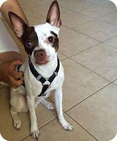 Boston terrier mix puppies arizona