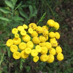 COMMON TANSY: (Tanacetum vulgare).  Photographed in Beaver, PA, Sept. 14, 2013.