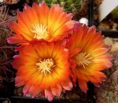 "Cactus. (""Parodia dextrohamatha."")"