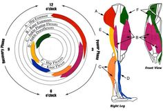 Muscle activation during cycling.
