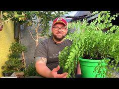 Veja como salvar uma AVENCA desidratada, e dicas para cultivar SAMAMBAIA AMERICANA - YouTube Planta Ornamental, 185, Herbs, Youtube, Album, Rose, Content, Foliage Plants, Succulents Garden