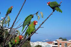 San Francisco wild parrots