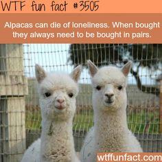 Alpacas - WTF fun facts