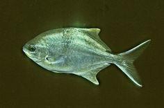 Port Phillip Bay Taxonomy Toolkit