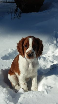 Someone put my dog on pinterest!! Henry - 4 months, Welsh Springer Spaniel