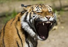 by Nathan Rupert #tiger #cub #animal
