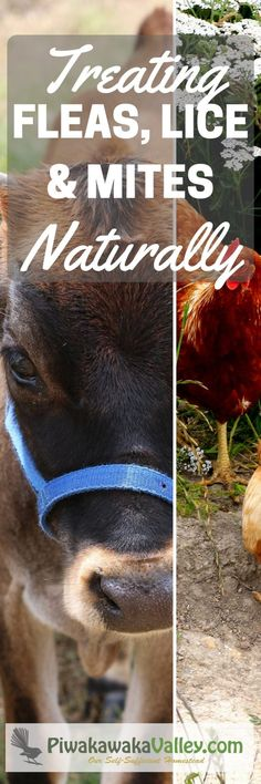 Simple, natural methods that really work! Treating flea, lice and mites.
