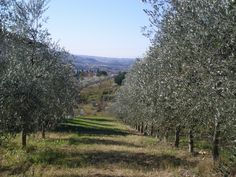 Between two rows of olive trees