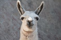 How to Select a Guard Llama. Researchers have determined the three most important llama traits that correlate with successful livestock guarding are alertness, leadership and weight. Weight is directly linked to age and maturity. Keeping these traits in mind, what should you be looking for in a good potential guard llama? From MOTHER EARTH NEWS magazine.