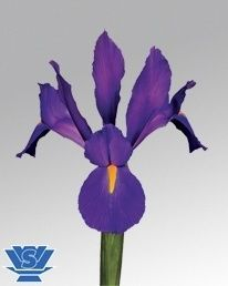 Purple Magic ® (IRIS)    Purple