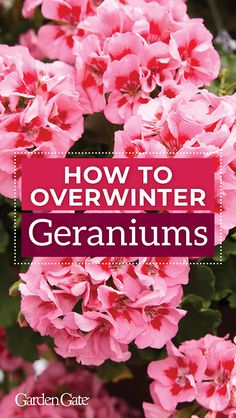 Want to save your geraniums for next year? Check out our helpful how to tips & video #HowTo #GardenHack #GardenTip #Geraniums #FallGardening #GardenGateMagazine