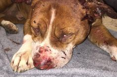 Justice For Warrior! Used In Dog Fighting And Abandoned On The Streets Severely Injured! | PetitionHub.org