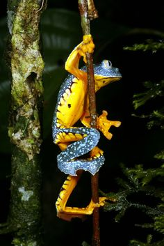 colorful animals | frog | the terrible poison dart frog comes only in a very small area in front to the river Rio Saija near the Pacific coast of Colombia in the Department of Cauca (comment by anette meier)