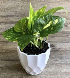 10 Houseplants That Need (Almost) Zero Sunlight - House Fur Indoor Plants Low Light, Best Indoor Plants, Inside Plants, Cool Plants, Shade Plants, Live Plants, Perennial Flowering Plants, Household Plants, Growing Plants Indoors