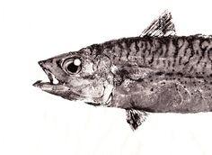 MACKEREL (Saba) - GYOTAKU print - traditional Japanese fish art - by dowaito