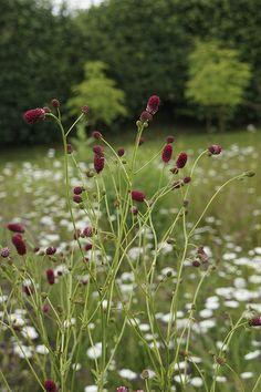 Oudolf's personal garden, Hummelo, Netherlands ~ photo credit: Adam Woodruff _/////_
