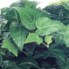 Big Shot Ivy- One of over 400+ varieties from Exotic Angel Plants®
