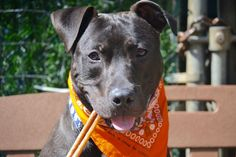 RETURNED!! SUPER URGENT Staten Island SAILOR aka CHANCE aka SAILING – A1069339  ***RETURNED 04/21/16, DOH HOLD – B***  NEUTERED MALE, BROWN, AM PIT BULL TER MIX, 1 yr, 6 mos STRAY – ONHOLDHERE, HOLD FOR DOH-B Reason STRAY Intake condition UNSPECIFIE Intake Date 04/21/2016, From NY 10310, DueOut Date 04/21/2016,
