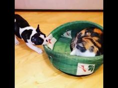 Kat geeft geen sjoege! #FranseBulldog