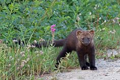 Fisher cat-has a scream you don't want to be woken up to. Fisher Animal, Fisher Cat, Beautiful Creatures, Animals Beautiful, Cute Animals, Wild Animals, Black Bear, Brown Bear, Big House Cats