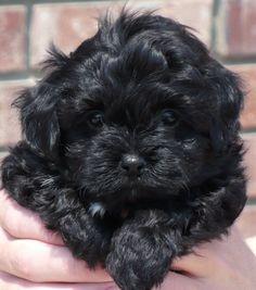 Havapoo & Havanese Puppies