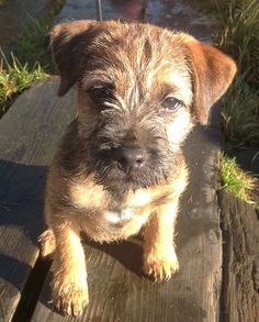 Bingo the border terrier 3 months old
