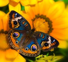 Buckeye Butterfly in all it's Beauty by Saija Lehtonen Friday The 13th Quotes, Friday Meme, Brian Hayes, Buckeye Butterfly, Justified By Faith, Butterfly Quotes, Fotografia Macro, Beautiful Creatures, Beetle