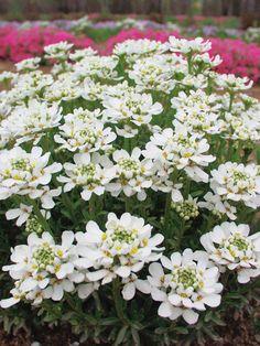 50 Sandy Soil Perennials That Like Sun Iberis Autumn Beauty Best Perennials, Flowers Perennials, Edging Plants, Garden Plants, Flower Gardening, Gardening Tips, White Flowers, Beautiful Flowers, Beautiful Gardens