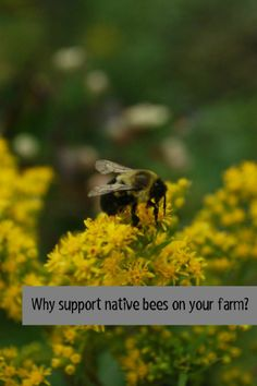 Why support native bees!