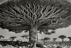 写真家のベス・ムーン氏が撮影した、見るものを圧倒する世界の老木。ソコトラ島のリュウケツジュからマダガスカルのバオバブまで10点。                                                                                                                                                      もっと見る                                                                                                                                                                                 もっと見る
