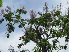 6月1日【キリ(桐)】学名:Paulownia tomentosa形態:落葉樹 樹高:高木分類:ゴマノハグサ科あるいはノウゼンカズラ科、独立のキリ科Paulowniaceaeとする意見もある.。花色:紫色使われ方:庭木、公園樹などとして使われています。また、キリは古くから良質の木材として重宝されており、下駄や箪笥、箏(こと)、神楽面等の材料となります。