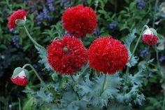 Papaver 'Crimson Feathers' | Annie's Annuals & Perennials | Flickr