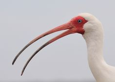Another from the archives of this past year.    White Ibis (Eudocimus albus) portrait from Lake Tohopegalika in Kissimmee, Florida.