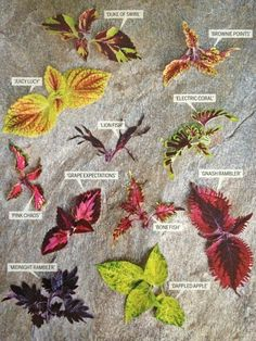 Colorful Coleus Foliage For Container Gardening. From May 2013 Toh Magazine. The Effective Pictures Shade Garden Plants, House Plants, Tropical Garden, Tropical Plants, Easy Garden, Lawn And Garden, Container Plants, Container Gardening, Coleus