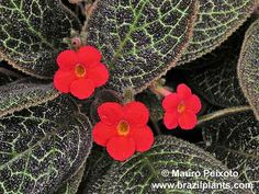Episcia cupreata Hanst 'Red' Indoor Flowers, Indoor Plants, Begonia, Camelia Rosa, All Flesh Is Grass, Nerve Plant, Violet Plant, Cement Garden, Belle Plante