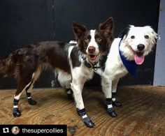 Thanks @thesupercollies  #rcpetproducts #rcpets  #pawks #sportpawks #dog…