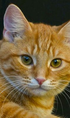 Cute Animals Cartoon also Cat Kittens Oven Biscuits + Cats And Kittens Jo Brand lest How To Draw Really Cute Animals Book his Cute Animals Kissing Pictures Cute Cats And Kittens, I Love Cats, Crazy Cats, Cool Cats, Kittens Cutest, Ragdoll Kittens, Funny Kittens, Bengal Cats, White Kittens
