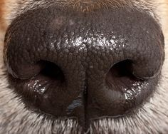 nose , up close Anatomy Sketches, American Cocker Spaniel, Dog Nose, Bow Wow, Fancy Cars, Cute Little Things, Animals Of The World, All Dogs, Funny Photos