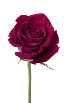 Burgundy Rose - A single burgundy rose, spangled with water drops on a white background
