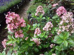 Nieuw! Een bruikbaar heestertje. De 'Escallonia Pink Elle' Wordt 1 m. breed en hoog. Groenblijvend. Grote rose bloemen, en geurend! Een aanwinst.