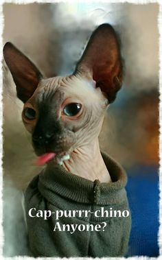 Sang Royal Sphynx | I'm in love | Sphynx cat, Sphynx, Cats