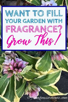 Flower Gardening How To Grow A Daphne Plant That Will Fill Your Garden With Fragrance - Learn Daphne plant care steps that will have you growing these fragrant shrubs with pretty flowers and often evergreen leaves in no time! Daphne Shrub, Plants, Daphne Plant, Gardening For Beginners, Plant Care, Fragrant Flowers, Fragrant Plant, Shade Loving Shrubs, Gardening Tips