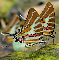 Swordtail Butterflies