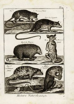 Original Antique Natural History copperplate of by RarePostCards