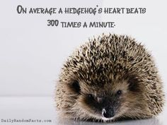 Baby hedgehogs are called hoglets.  When they grow up, they can sprint as quickly as 6 feet per second.